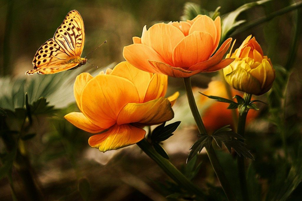 Blühpatenschaften Schmetterlinge