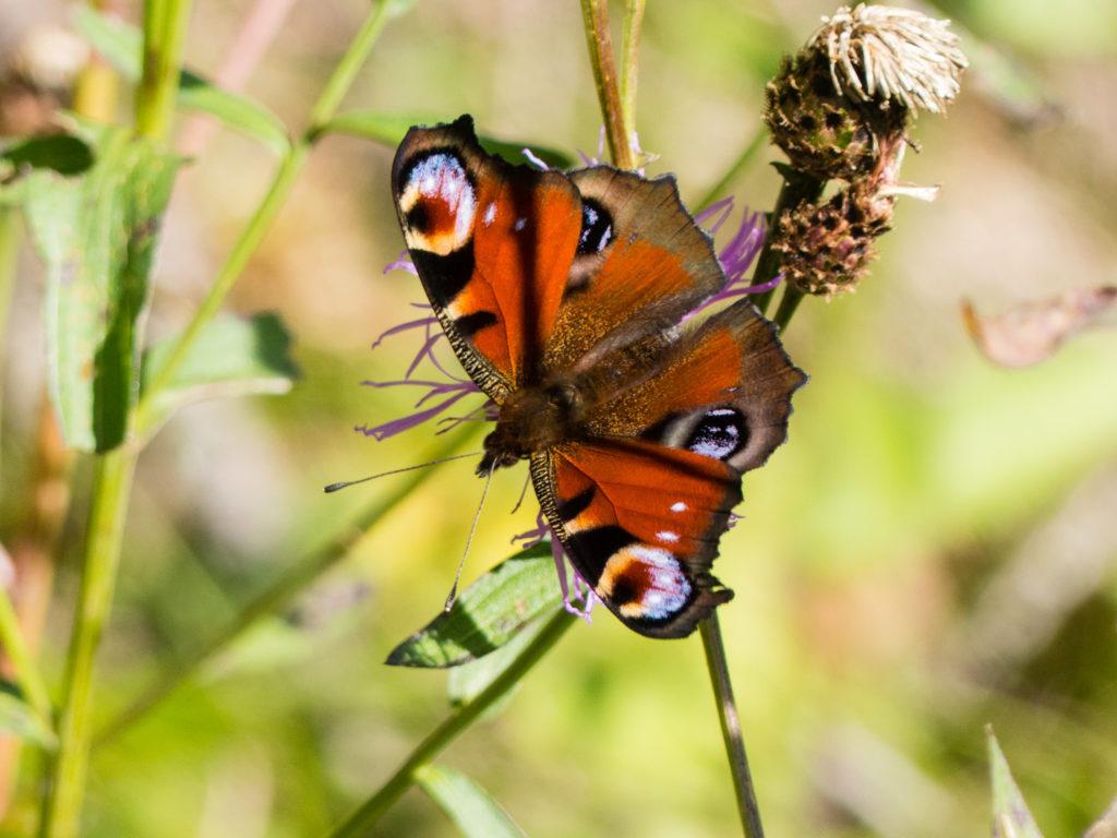 Schmetterlinge-Nahrung-Tagpfauenauge