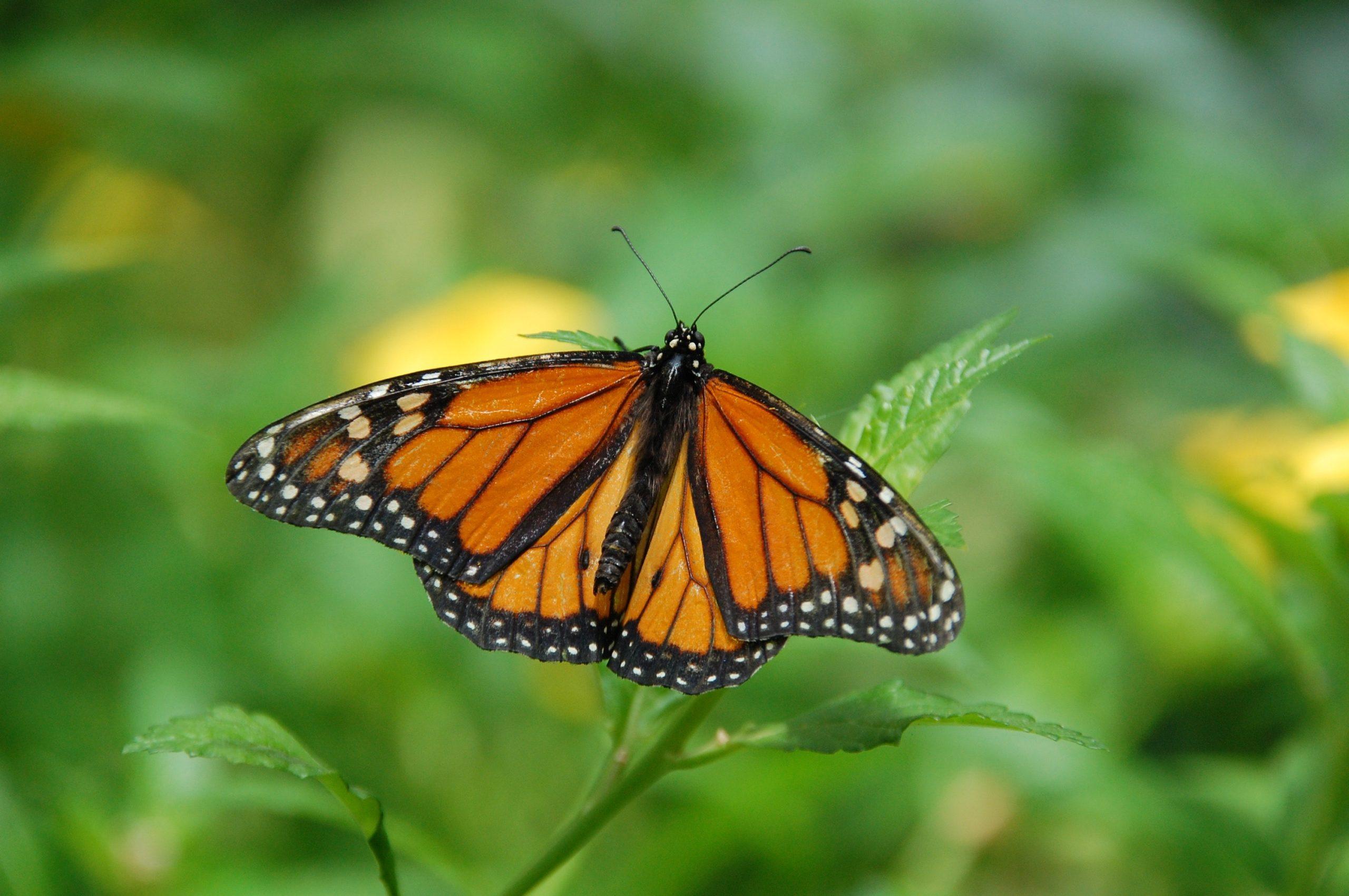 Nahrung für Schmetterlinge: Warum jeder Brennnesseln im Garten haben sollte