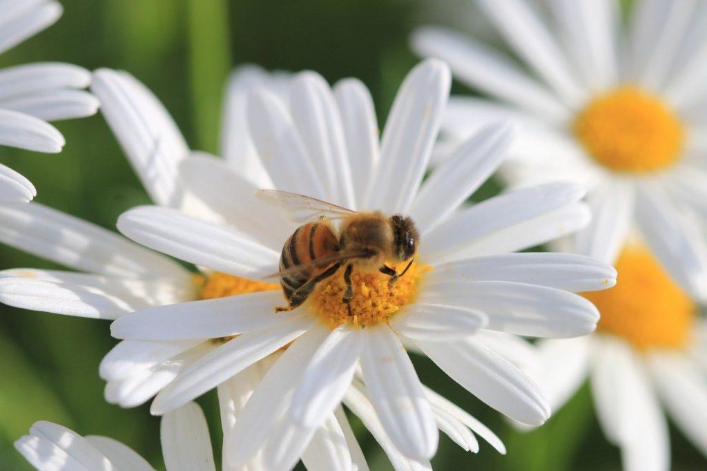 Bienenfreundliche_Kräuter_Biene