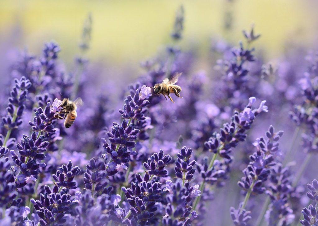Bienenfreundliche_Kräuter_Lavendel